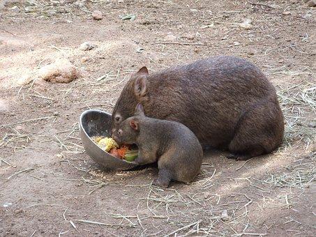 Wombat, Animal, Cute, Australia, Hair, Native, Fur