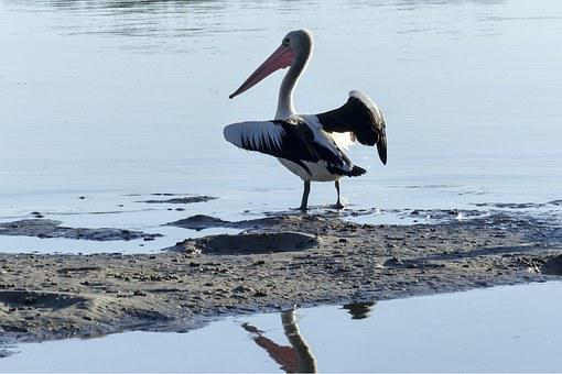 Australian Pelican, Water Bird, Nature, Animal, Wild