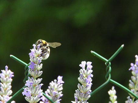 Nature, Bee, Insects, Lavender, Summer