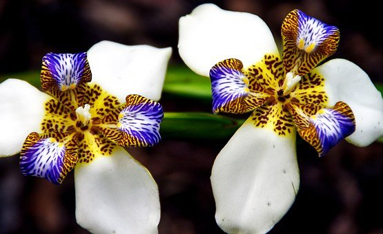 Brazilian Walking Iris, Noemarica Gracilis, Iris