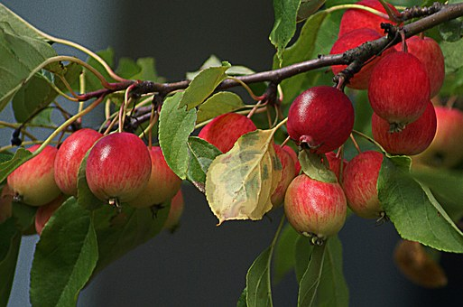Apples, Paradise Tree, Small Apples, Branch With Apples