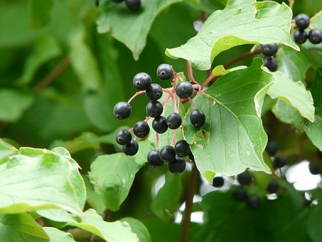 Red Dogwood, Dogwood, Berries, Black, Fruits, Cornus