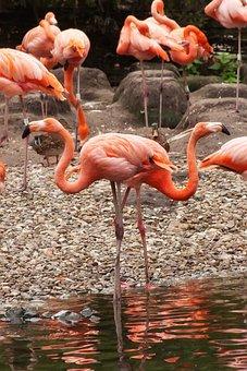 Flamingo, Pride, Bird, Animal, Elegant, Beautiful
