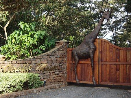 Giraffe, Kenya, Nairobi, Animal, African, Wild, Mammal