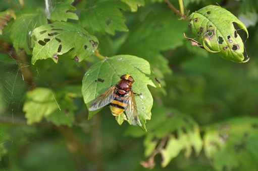 Fly, Giant City, Volucella Zonaria, Hornet Hoverfly