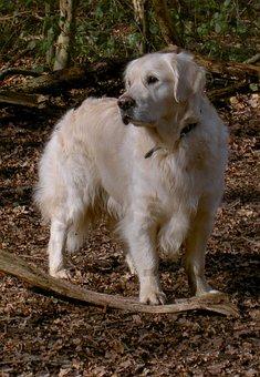 Labrador, Retriever, Gun Dog, Purebred, Pedigree