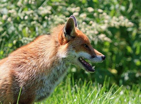 Fox, Red Fox, Red, Portrait, Animal, Wild, Wildlife