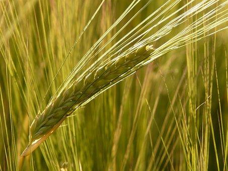 Barley Field, Barley, Cereals, Grain, Cereal, Cornfield