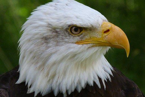 Bird, Bird Of Prey, Raptor, Bald Eagles, Adler, Animal