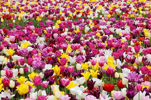 Tulips, Tulip Field, Tulpenbluete, Tulip Fields