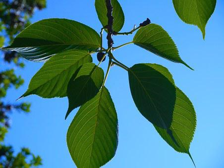 Cherry, Leaf Of Cherry Tree, Vein, Leaf, Green