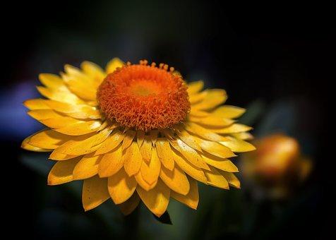 Helichrysum, Italicum, Yellow, Close, Garden Herbs