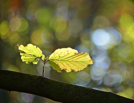 Beech Leaves, Autumn, Fall Foliage, Leaves, October