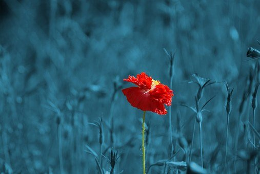 Poppy, Papaver, Meadow, Pointed Flower, Abstract, Plant