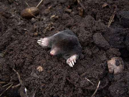 Mole, Nature, Animals, Molehills