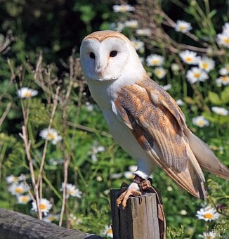 Barn Owl, Owl, Bird, Animal, Wildlife, Nature, Portrait