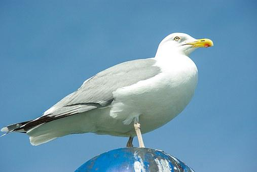 Sibermoewe, Larus Argentatus, Water Bird, Baltic Sea