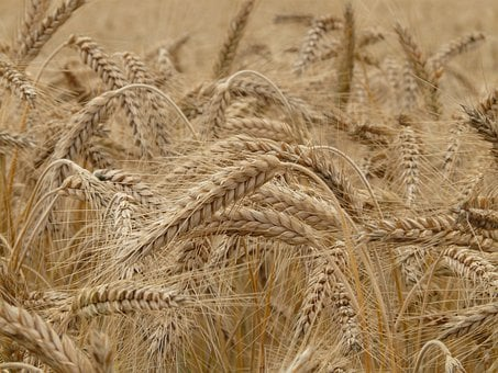 Wheat, Spike, Wheat Field, Cereals, Wheat Spike, Grain