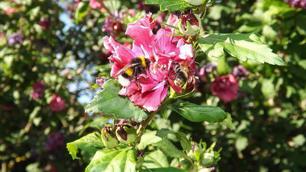 Bumblebees, Mallow, Insect, Blossom, Bloom