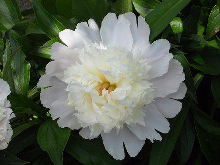Flower, Peonies, Blossom, Blooming, Plant, Spring