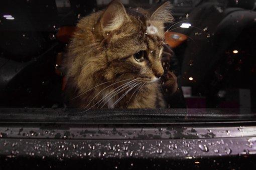 Cat, Window, Car, Waiting, Sad, Kitten, Animal Shelter