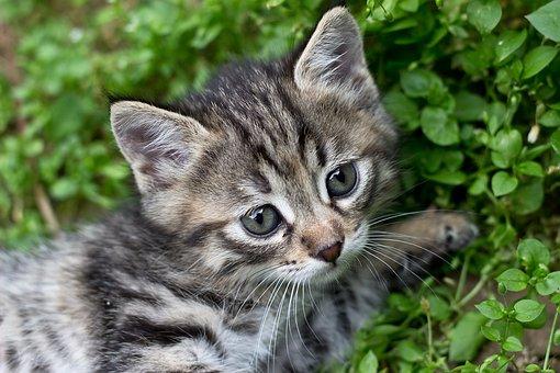 Tabby Kitten, Gray Kitten, Cat, Pet, Domestic, Feline
