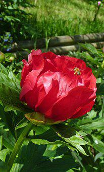 Flower, Peony, Flowering, Red Flower, Hatching, Field