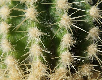 Cactus, Sting, Desert, Green, White, Nature