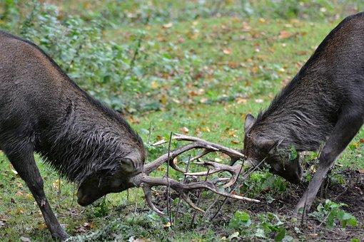 Deer, Sika Deer, Fight, Revier Fight, Wild, Close
