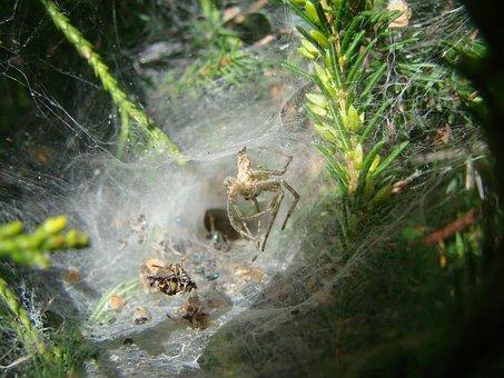 Agelenidae Spider, South West Of France