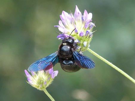 Xilocopa Violet, Bumblebee Carpenter, Borinot Negre