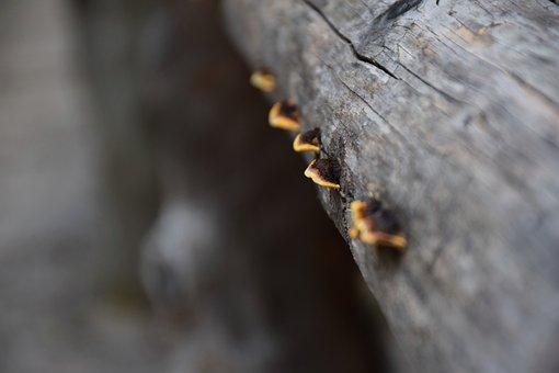 Red Edge On Tree Sponge, Mushroom, Fomitopsis Pinicola