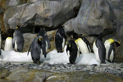 Emperor Penguin, Aircon Room, Penguins, Flightless