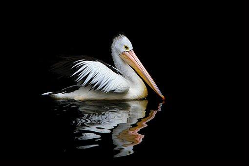 Australia, Pelican, Sea Birds, Pelecanus Conspicillatus