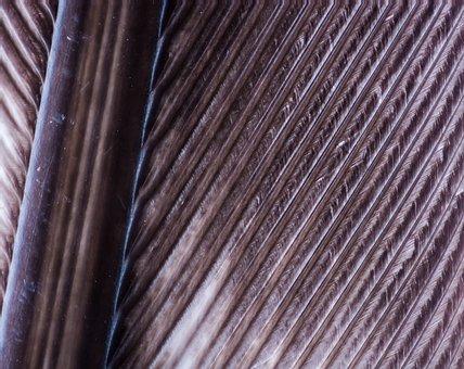 Turkey Feather, Spring, Bird Feather, Macro