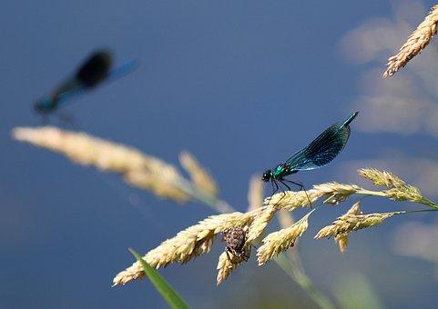 Damselfly, Insect, Macro, Nature, Green