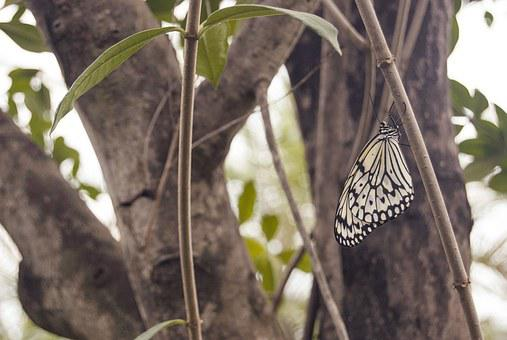 White, Baumnymphe, Butterfly, Nature, Tropical