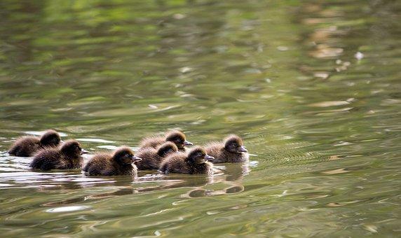 Ducklings, Duckling, Duck, Ducks, Pochard, Pochards