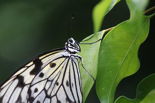 White Baumnymphe, Butterfly, Idea Leuconoe, Tropical
