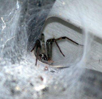 Brown Funnel Spider, Tunnel Web, Predator, Lurking