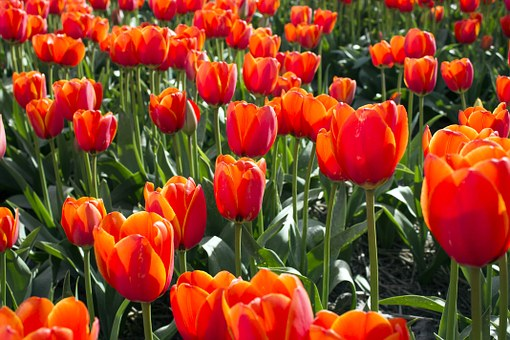 Tulips, Netherlands, Tulip, Spring, Holland, Bulb