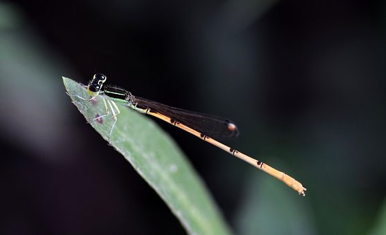 Damselfly, Insect, Insectoid, Winged, Bug