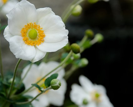 White, Poppy, Flowers, Blossoms, Blooms, Blooming