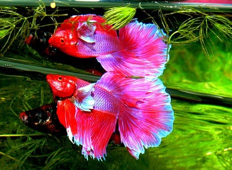 Betta Splendens, Siam Fighter, Fish, Tropical, Aquarium