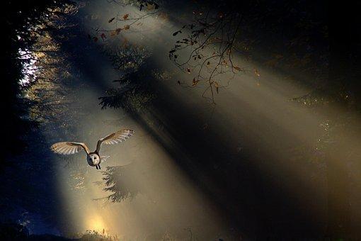 Owl, Barn Owl, Animal, Bird, Forest, Fly, Flight