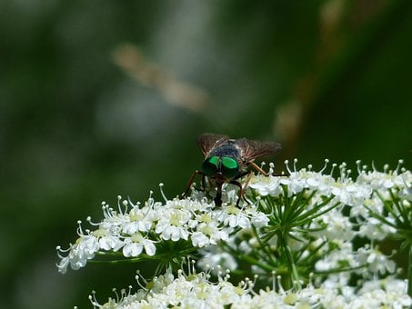 Rinderbremse, Green Eyes, Green Compound Eye, Insect
