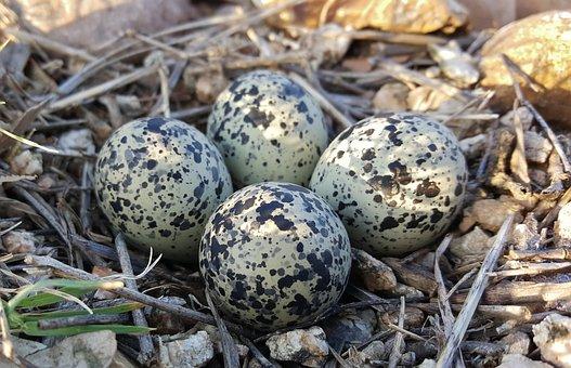 Eggs, Bird's Eggs, Nest, Plover Eggs