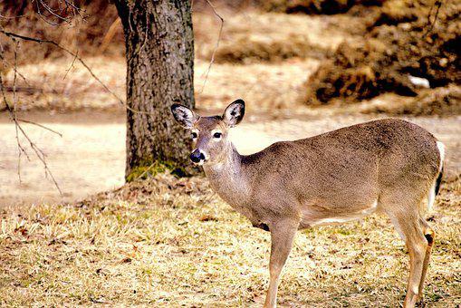 White Tail, Pa, Deer, Nature, Brown, Northeast