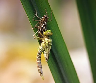 Dragonfly, Young Animal, Larva, Hatched, Reed, Nature