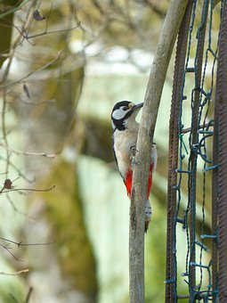 Great Spotted Woodpecker, Dendrocopos Major, Bird